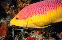 Spanish Hogfish (Bodianus rufus). Florida. USA