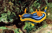 Twisted Nudibranch (Chromodoris elizabethina)