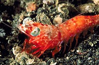 Shrimp (Rhynchocinetes sp.). Indonesia