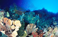 Reef, wall structure of the Eastern fields. Papua New Guinea