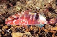 Freckled Goatfish (Upeneus tragula)