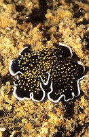 Flatworm (Thysanozoon sp.). Indonesia