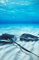 Southern Stingray (Dasyatis americana). Caymans Islands, Caribbean