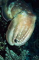 Cuttlefish (Sepia sp.). Indonesia