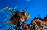 Lionfish (Pterois volitans). Maldive Islands