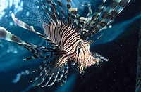 Lionfish (Pterois volitans). Indonesia