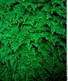 Oak fern, Detail, Leaves, Fern