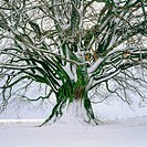 Beech (Fagus Sylvatica) in winter. Bavaria. Germany