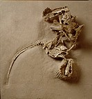 A juvenile Velociraptor attacked a Protoceratops, which bit down of the predator´s right hand with its beak-like jaws, locking both in a death grip. T...