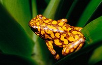 Harlequin Poison Dart Frog (Dendrobates histrionicus)