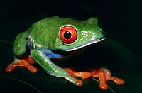 Red-eyed Treefrog (Agalychnis callidryas)