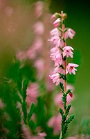 Ling or Heather (Calluna Vulgaris)