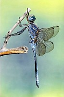Male dragonfly (Orthetrum sp.)