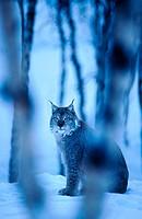 Lynx (Lynx lynx). Norway