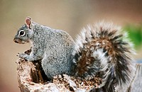 Gray Squirrel (Sciurus arizonensis)