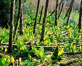Skunk Cabbage (Lysichitum americanum) plants. South Slough National Estuarine Reserve. Oregon. USA