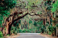 Live oaks (Quercus Virginiana) covered with spanish moss (Tillandsia Usneoides) and a road. Myakka Forest. Florida. USA