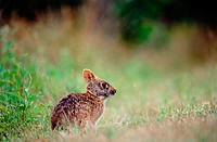 A marsh rabbit (Sylvilagus Palustris). Everglades. Florida. U.S.A