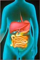 ´DIGESTIVE TUBE, ILLUSTRATION<BR>The human digestive tract is a group of organs which transform food components into absorbable chemical units. Food p...