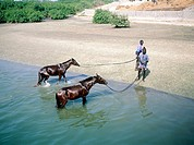 Two men giving a bath to their horses in a lagoon. Joal Fadiouth. Petite Côte. Senegal