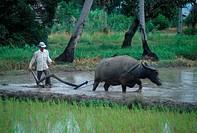 Ploughing padi field with a buffalo, Malaysia