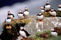 Group of Atlantic Puffins (Fratercula arctica). Iceland