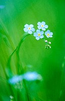 Forget-me-not blossoms (Myosotis sylvatica) Bavarian Forest National Park. Germany