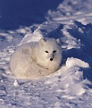Arctic Fox (Alopex lagopus)