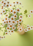 ´Feverfew flowers.  Bunch  of  feverfew    flowers (Chrysanthemum  parthenium).  This medicinal plant can be used to treat headaches and migraines.
