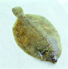 ´Sole, whole and uncooked. This is a flatfish found in temperate and tropical oceans. Fresh fish is an excellent source of protein.