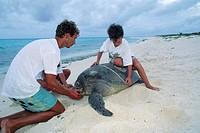 Measuring a turtle. Boy and man measuring a green turtle (Chelonia mydas). The green turtle lives in warm seas throughout the world,  stayi...