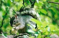 Gray Squirrel (Sciurus arizonensis). Arizona. USA