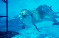 ´Bottlenose dolphins (Tursiops truncatus) in a pool at a public aquarium. The bottlenose dolphin can reach a length of four metres,  although fema...