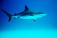 Caribbean reef shark (Carcharhinus perezi). Freeport, Bahamas (Caribbean)