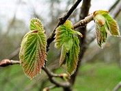 Buds and young leaves of Hazel (Corylus avellana)