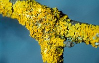Lichen (Xanthoria parietina) on trunk