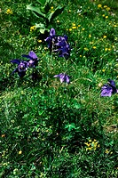 BLUE CLOUD MEDICINAL PLANT<BR>Consolida Regalis SF Gray is a member of the Ranunculaceae family.