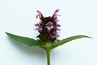 SELF-HEAL<BR>Prunella vulgaris.