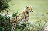 Cheetah (Acinonyx jubatus) cub. Serengeti National Park. Tanzania