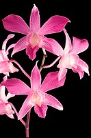Candy Stripe (Dendrobium) orchids, Malaysia
