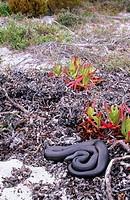 Mole Snake (Pseudaspis cana)