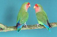 Peach-Faced Lovebirds (Agapornis roseicollis)