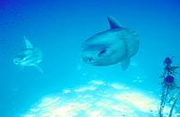 Mola Mola ocean sunfish.