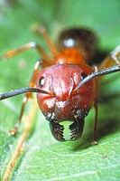 Red carpenter ant (Camponotus ferrugineus).