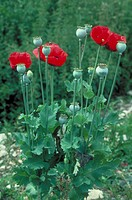 Opium Poppy (Papaver somniferum). Source of opium/heroin.