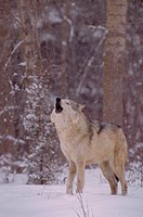 Gray wolf howling.