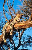 Leopard (Panthera pardus) on a tree. Namib Desert
