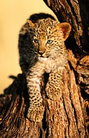 Young leopard (Panthera pardus)