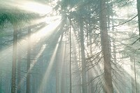Sun breaking through mist, spruce forest. Bavarian forest, Bavaria. Germany