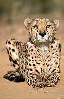 Cheetah (Acinonyx jubatus), portrait. Namibia